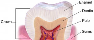 tessuti dente