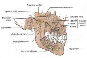 nervi denti
