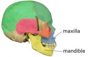 mascella e mandibola