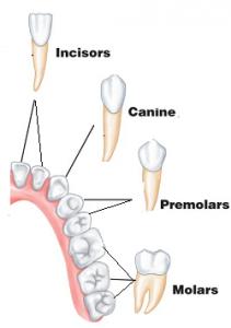 denti canini
