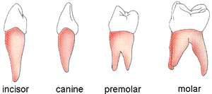 denti incisivi