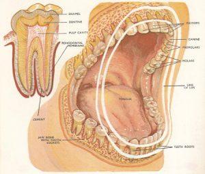 struttura-dente