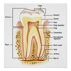 struttura denti molari