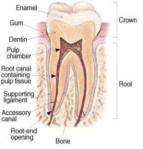 denti-anatomia